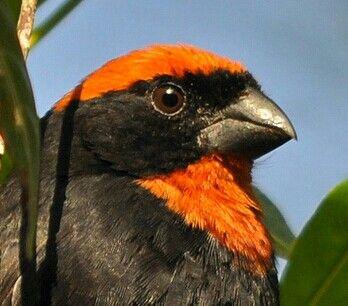 Bullfinch, ave nativa de Puerto Rico