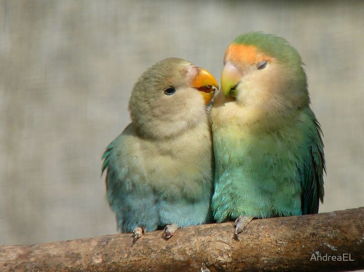 17 Best Images About African Lovebird On Pinterest Love