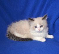 Beyond the Valleyragdolls has Ragdoll kittens for sale in Wisconsin, Available Ragdoll kittens in Wisconsin and Minnesota, A Wisconsin ragdoll breeder, Wisconsin ragdoll kittens, ragdoll kittens for sale in Wisconsin, MInnesota ragdolls for sale, Ragdoll kittens for sale near Minnesota, Wisconsin ragdolls, ragdoll kittens for sale in Minnesota, Ragdoll kittens available in Wisconsin, ragdoll kittens USA, Ragdoll kittens, Ragdoll Kittens for sale in Iowa, Ragdoll breeders in Minnesota…