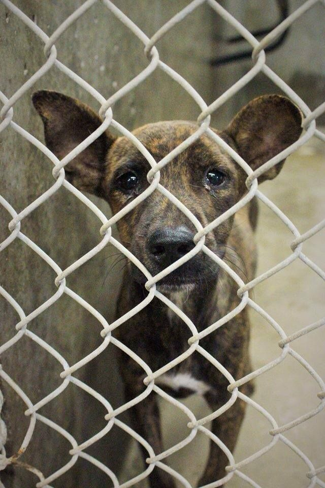 08/13/14~NEEDS OUT IMMEDIATELY~ODESSA SUPER URGENT~Catahoula mix ~female less than a year old ~ Kennel A25 ~lets get this baby girl out NOW before she gets sick~ Available NOW ****$51 to adopt Located at Odessa, Texas Animal Control. Must have a valid Drivers License and utility bill with matching address to adopt. They accept Credit Cards, cash or checks. Please send us a PM if we can answer any questions for you.