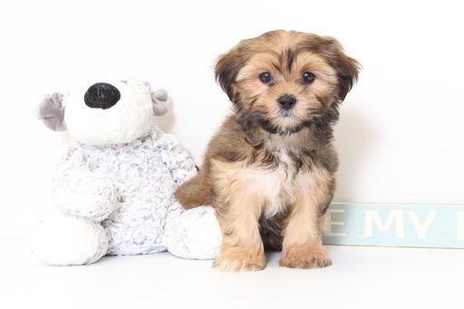 Shorkie Tzu puppy for sale in NAPLES, FL. ADN-46252 on PuppyFinder.com Gender: Female. Age: 9 Weeks Old