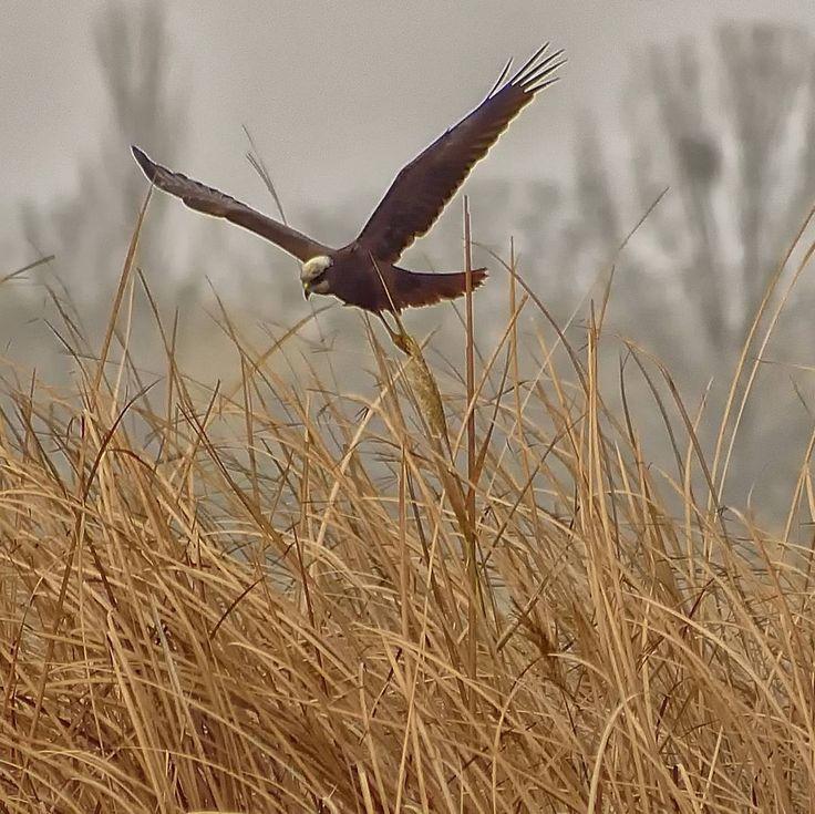 #eagleflight #vuelodelaguila #aguilucholagunero #arpella #marsharrier #rapaces #raptors #depredadores #predators #wildbirds #wildnature #wildlifeplanet #wildlifephotography #vidasalvaje #fotografiavidasalvaje #birds #birdswaching #birding #natureshots #naturelovers #naturelife #freelife #freelifestyle #walkingwithbackpackandcamera #caminandoconmochilaycamara #goodvibes #buenasvibraciones #nikon