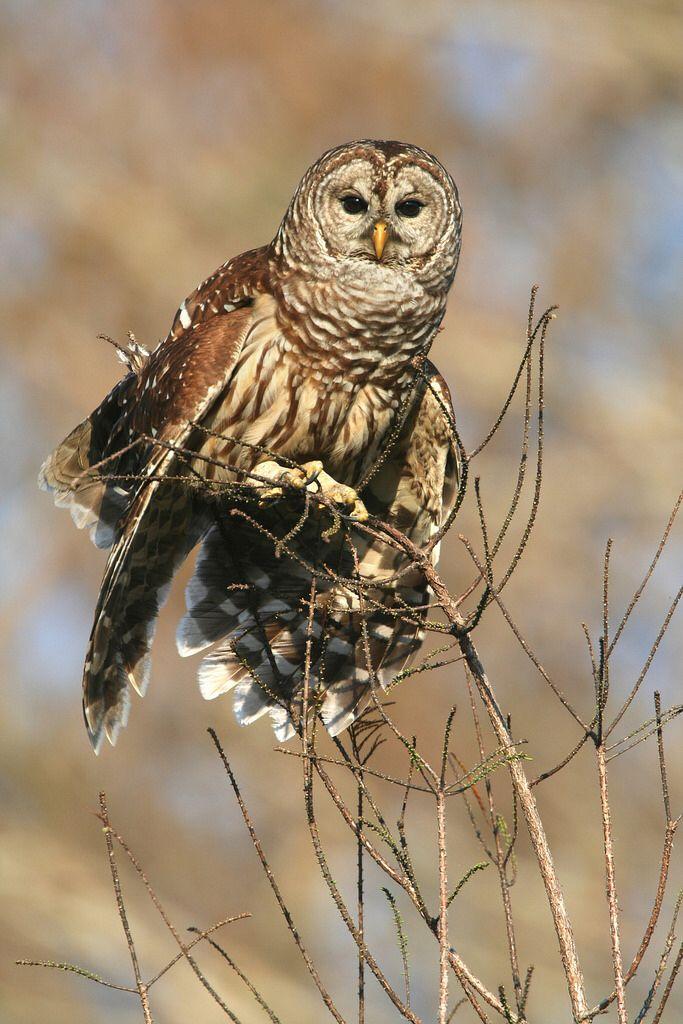 Barrow Owl - Central Florida