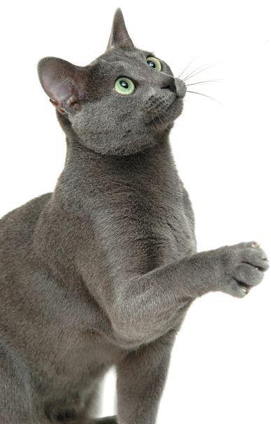 Russian Blue Cat Sitting Up
