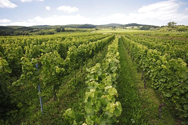 Weinbau im Rheingau