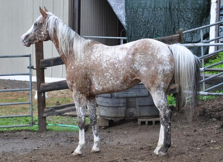 58 best appaloosa the horses of the creator images on
