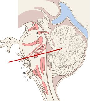 290px-Brain_stem_sagittal_section.svg.png (290×327) nervi encefalo ci, nuclei