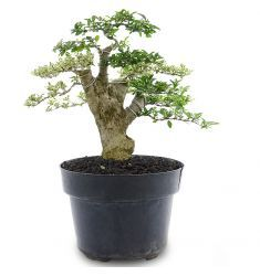 Bonsai Ligustrum 12-08 Rp 275,000