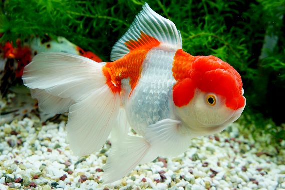 210 best goldfish images on pinterest water animals for Ornamental pond fish golden