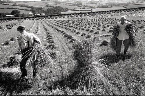 James Ravilious (22 August 1939 – 29 September 1999): Men setting up stooks, Chulmleigh, August 1989