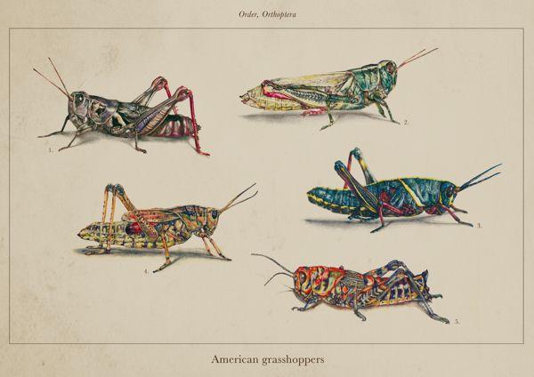 Scientific Illustration - American Grasshoppers by Nicole Giuliattini, via Behance