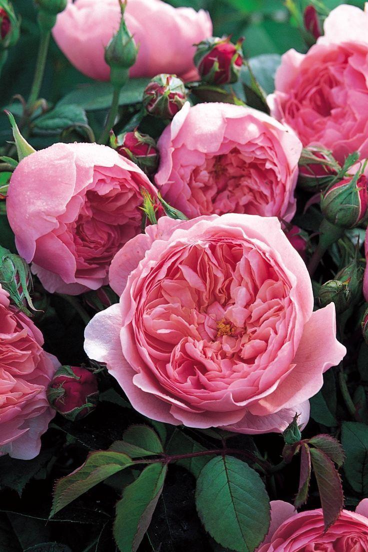 The Alnwick Rose David Austin English Rose Gardeningforbeginners David Austin Roses Hybrid Tea Roses English Roses
