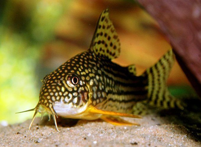"""There are currently over 180 described species of Corydoras (commonly shortened to """"cory""""), making it one of the most speciose of all South American fish genera. There are also loads of undescribed species, many of which have been assigned a """"C number"""" for identification purposes. This is a very simple system of numbering and is similar to the L number scheme used to identify undescribed Loricariids. Both systems were implemented by the German aquarium magazine DATZ (Die Aqua..."""
