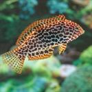 Reef Safe Saltwater Fish for Sale Online | PetSolutions