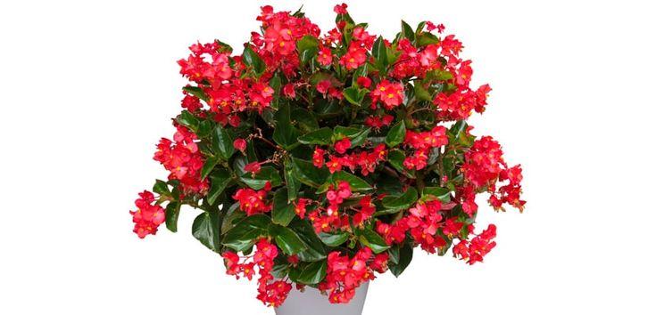 Foarte apreciată pentru florile delicate și frunzele de diferite culori, begonia este o plantă de apartament populară, însă cultivarea acesteia este destul de dificilă și necesită atenție constantă.