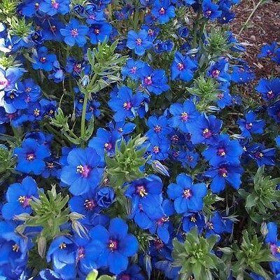 Blue Pimpernel Flower Seeds (Anagallis Arvensis Caerulea) 200+Seeds - Under The Sun Seeds - 2