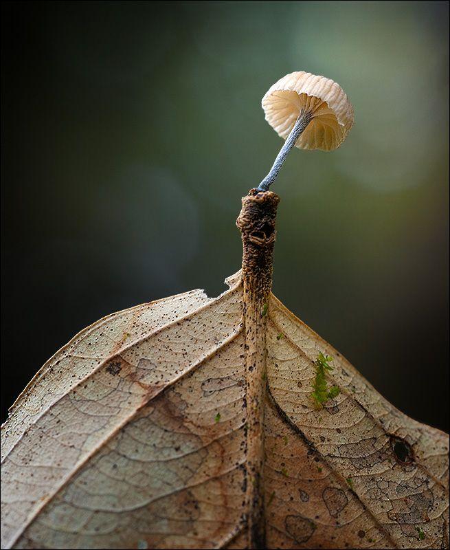 Verschwind-Ling von Stefan Traumflieger. Marasmius species of mushroom.