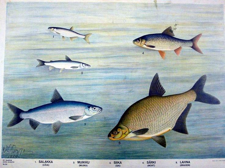 the old school's educational board - vanha opetustaulu - fish - Finland