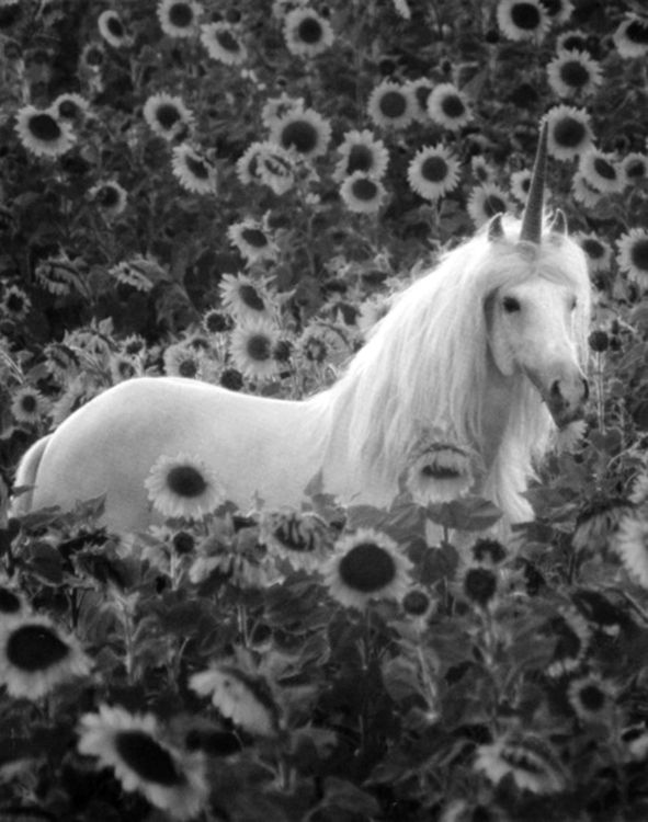unicorn: Fantasy, Pegasus, Except, Fairies, Dreams, Beautiful, Sunflowers Fields, Animal, Magic Unicorns