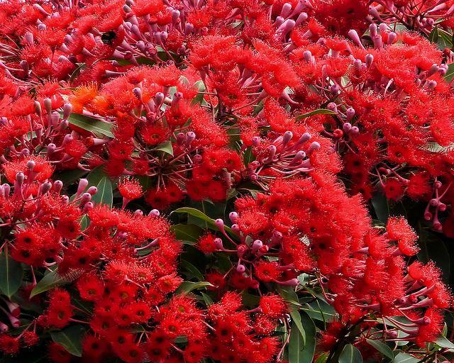 Gum tree flowers.