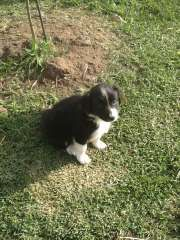 Border collies mature victoria australia amusing piece