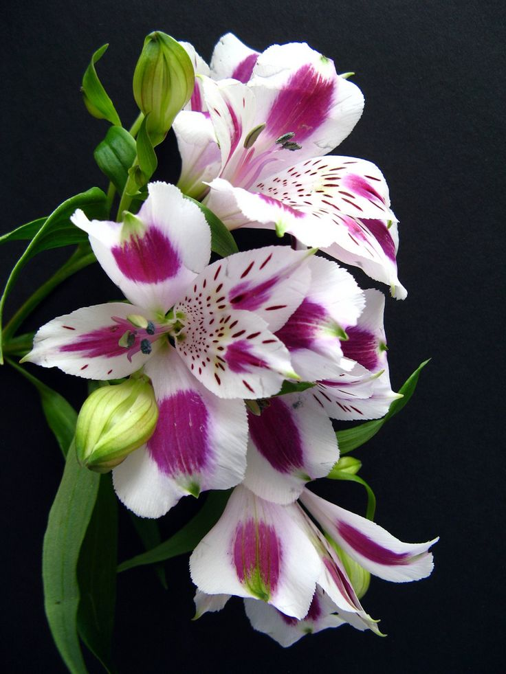 Alstroemeria--they last forever when cut and come in so many colors---I love them.