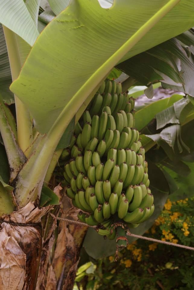 I was quite happy eating local bananas every day. Ok, I admit it. I was unexpectedly happy. Wonders will never cease.  In Madeira Island.