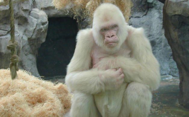 Le gorille blanc du zoo de Barcelone