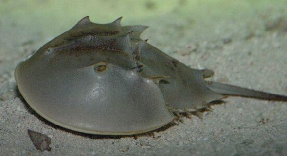 Límulo, o caranguejo-ferradura
