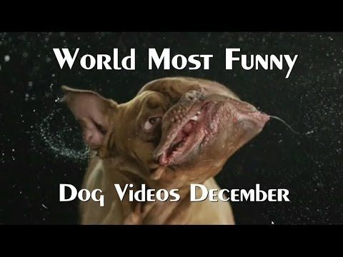 ▶ The World's Most Funny Dog Videos December 2013 - YouTube