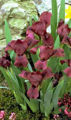 "Dwarf Iris 'Cherry Garden'- this attractive, shade tolerant, standard dwarf bearded iris has cherry/maroon standard and falls with a purple beard and blooms early in the season. Grows up to 18"" in full sun to part shade. Zones 3-8"