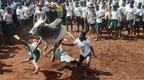 Jallikattu banned by Supreme Court http://www.thehansindia.com/posts/index/2014-05-08/Jallikattu-banned-by-Supreme-Court-94469