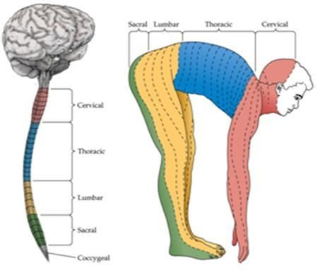 spinal dermatomes | dermatome: area of skin that is mainly supplied on
