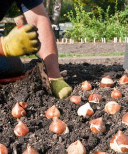 Conseils sur la plantation des bulbes de printemps.Septembre octobre c'est le moment de planter les bulbes