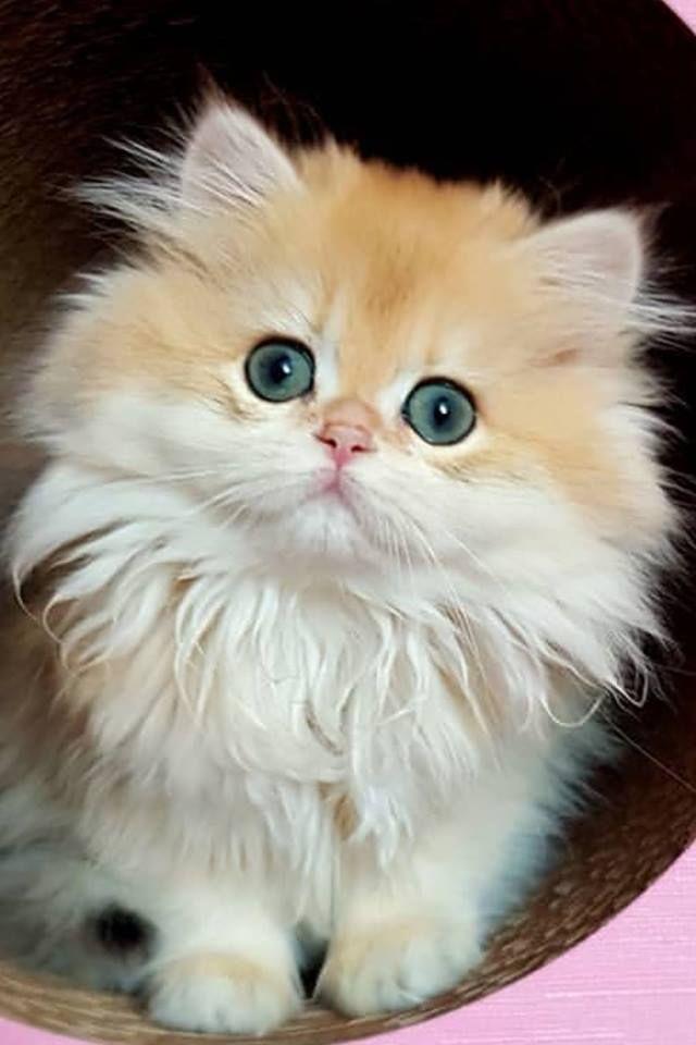 Whitekittens Fluffykittens Whitekittens Cute Baby Cats Cute Fluffy Kittens Kittens Cutest