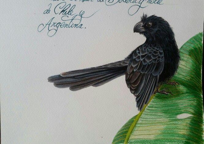 """Matacaballo dibujo a lápiz.  Seria """"aves de Chile"""". Artista coté Correa"""