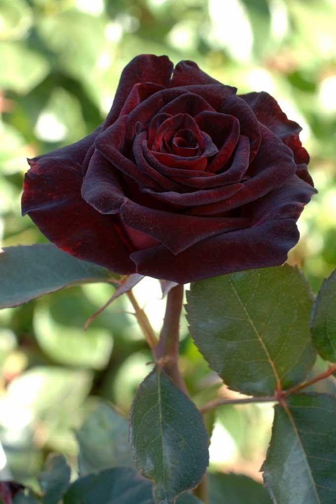 Black Baccara : Large Flowers Rose (tea hybrids) Bush : FamousRoses.eu