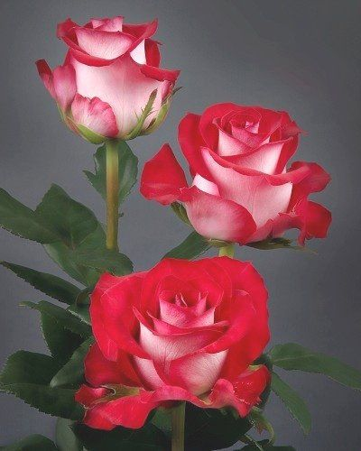"""fire and ice roses -- use for the """"painted roses"""""""