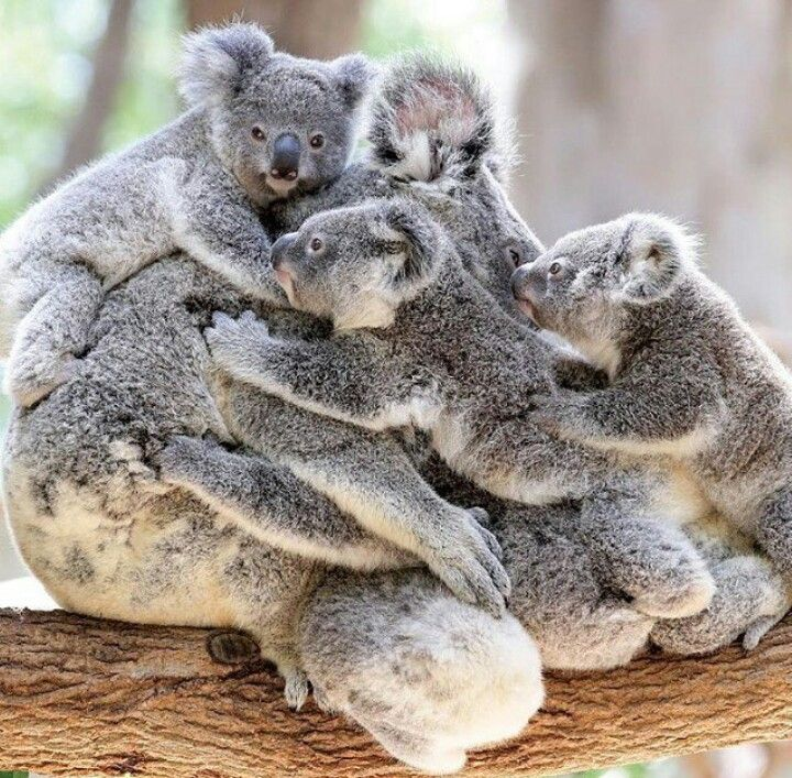 Koalas. Momma with three or five (maybe six) babies.