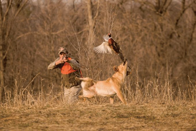 5 Tips for Solo Pheasant Hunting | Outdoor Life --by Curtis Niedermier / posted September 18, 2014