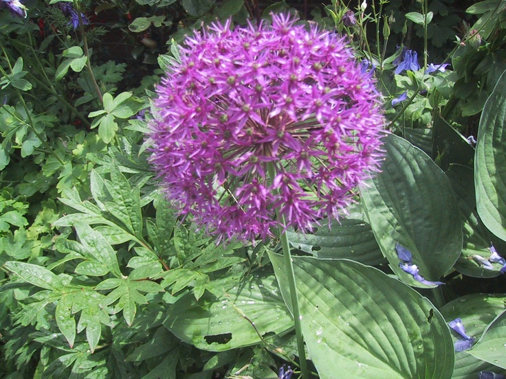 Allium - Purple Sensation Early June