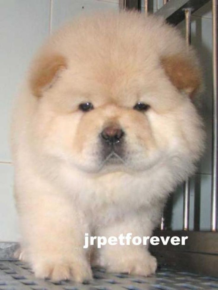 Chow Chow Puppy | DogSpot.in