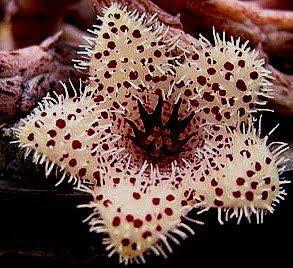 Asclepiadacitisagudisima: stapelianthus