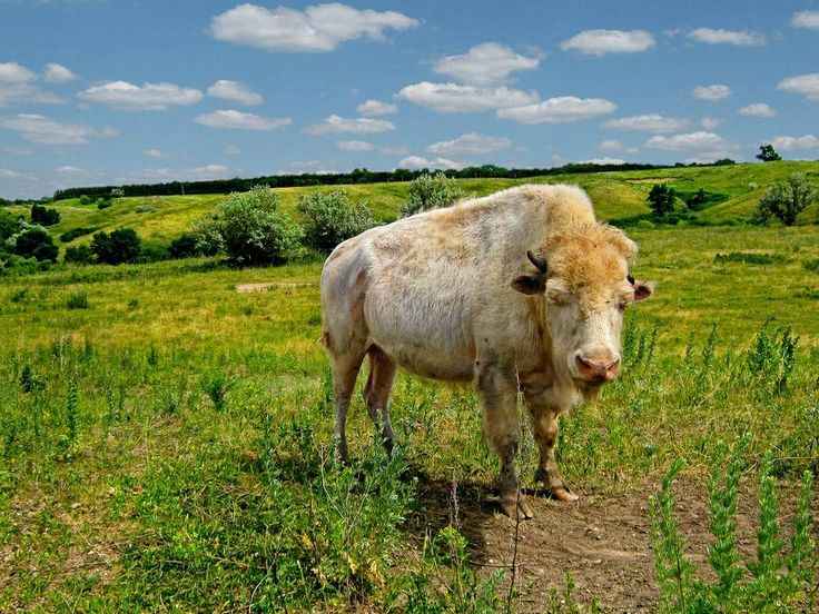 Sacred white buffalo North dakota, North dakota travel