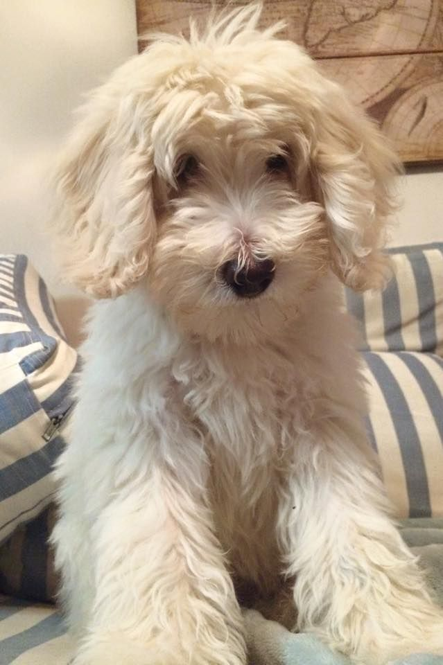 Moose - English F1B Goldendoodle