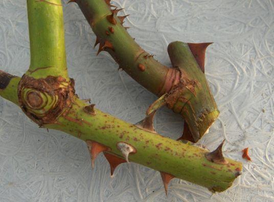También se pueden elegir aquellas varas que salen de otras, dejando una parte de la caña más vieja, esto se hace porque en esas zonas tienden a aparecer células capaces de cambiar la función clorofílica por la formación de raíces, y en ocasiones hasta aparecen pequeños nódulos radiculares. Por lo que la posibilidad de enraizamiento es mayor.