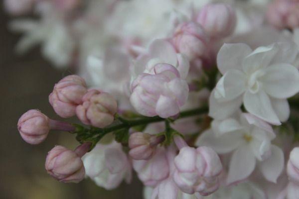 Flieder, Edelflieder Schöne von Moskau ®: Syringa vulgaris Schöne von Moskau (Beauty of Moscow, Krasavica Moskvy): Russischer Flieder mit hellrosa gefüllten Blüten