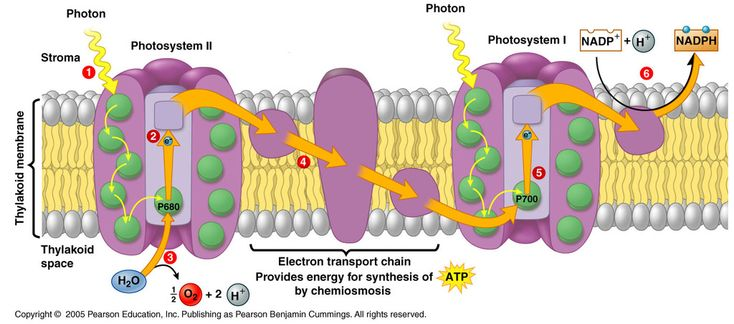 Photosystem 1 and 2 Diagram | Quizlet | Photosynthesis ...