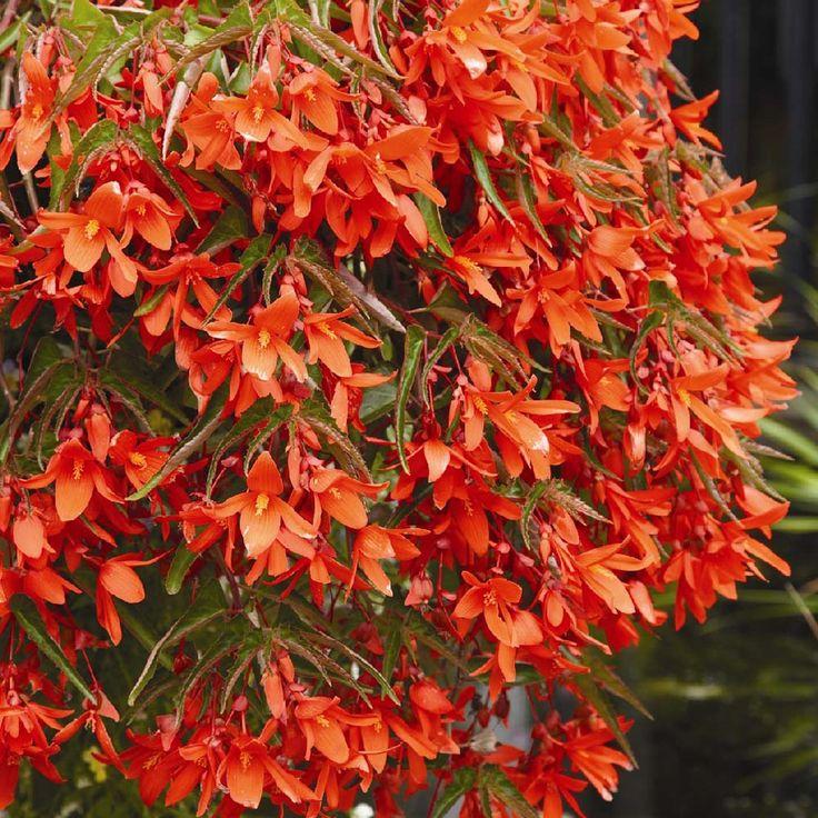 how to take cuttings of begonias