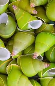 Image result for Manus shells